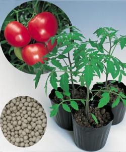 【郵便送料無料】ベスパ トマト用台木 2Lコート種子 1000粒 【タキイのタネ】【台木用種子】
