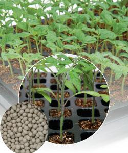 【郵便送料無料】グリーンフォース トマト用台木 2Lコート種子 1000粒 【タキイのタネ】【台木用種子】