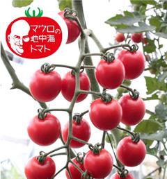 マロウの地中海トマト プリンセスロゼ ミニトマト種子 100粒【イタリアトマト】【野菜の種】【郵便利用で送料無料】