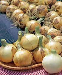 収量性抜群の晩抽極早生種 スパート 世界の人気ブランド 玉ねぎ種子 20ml 小袋種子 ブランド激安セール会場 野菜種子 タキイ種苗