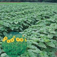美しい大輪花が景観用に最適 景観 緑肥用ひまわり タキイ種苗 上質 500g お歳暮