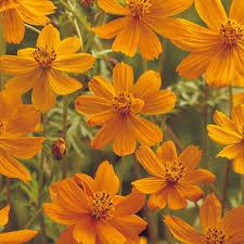【送料無料】景観用キバナコスモス オレンジフレア 1L×5袋【花の種】【タキイのタネ】【緑化事業】