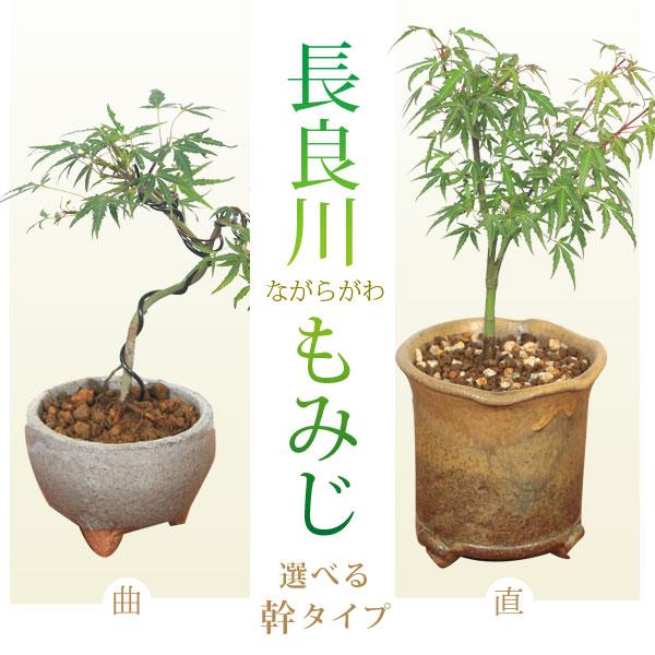 【敬老の日 ギフト】幹が選べる:小品盆栽 長良川もみじ* bonsai