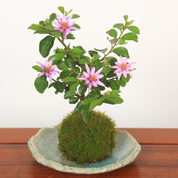【即日出荷可】苔玉:睡蓮木(益子焼丸切受け皿付)*すいれんぼく【送料無料】bonsai