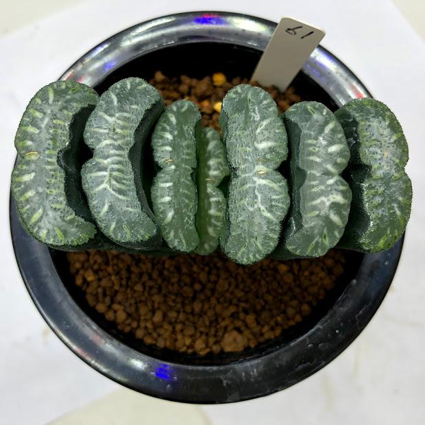 多肉植物:ハオルチア 玉扇 61*幅9cm 現品!一品限り ※外葉に傷みあり