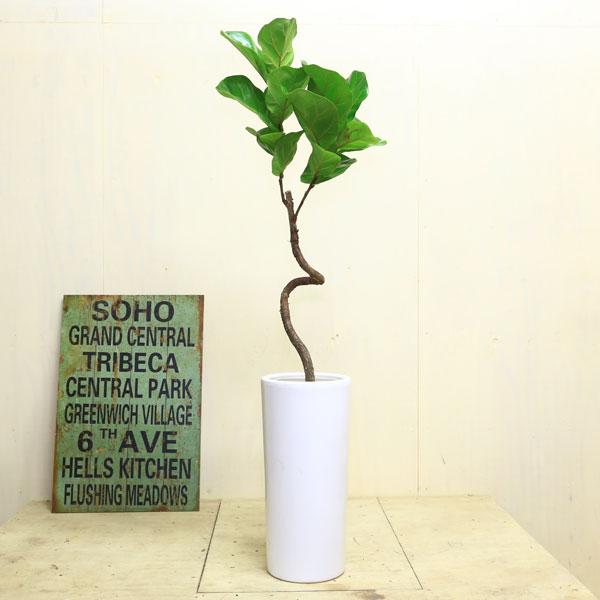 """観葉植物:カシワバゴムの木 """"バンビーノ""""S字*陶器鉢 大型ヤマト便"""