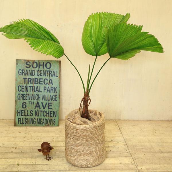 観葉植物:ウチワヤシ(団扇椰子)*ジュートカバー付き 大型ヤマト便
