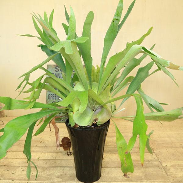 観葉植物:コウモリラン ビカクシダ*ブラック陶器鉢 現品 大型ヤマト便配送
