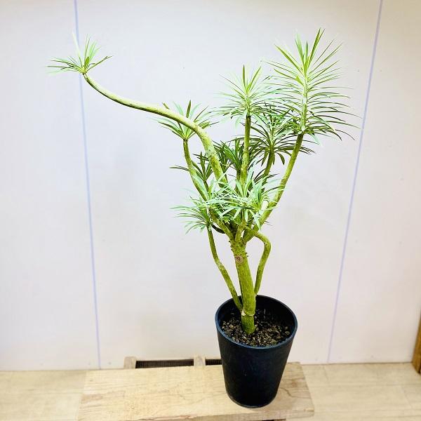 おしゃれ 多肉植物・観葉植物:大きなモンキーツリー*セラアート