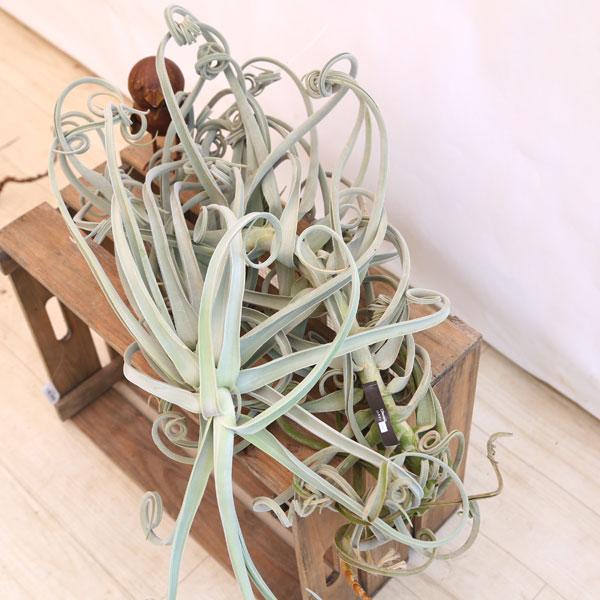 観葉植物:チランジア ドゥラティ XLL*エアープランツ 現品限り