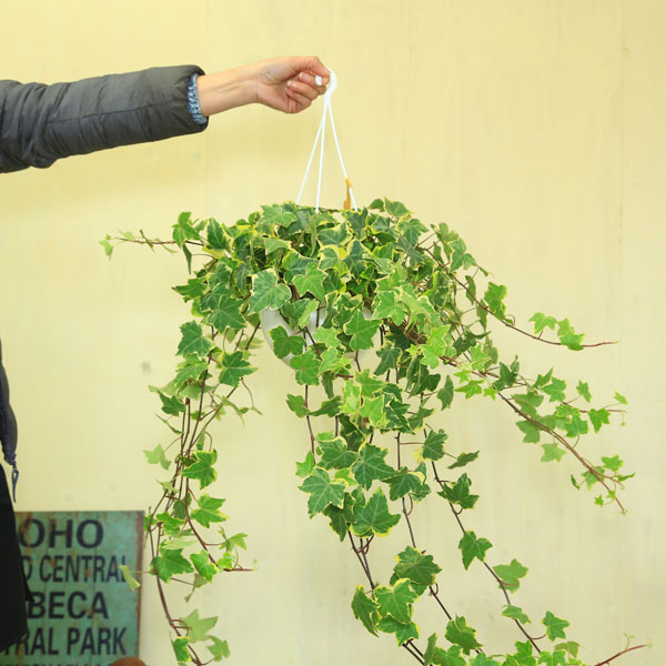 育てやすくてお手入れ簡単 返品交換不可 注目ブランド 観葉植物:アイビー ヘデラ吊り鉢 品種選べます