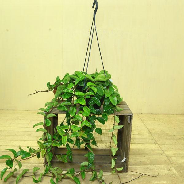 観葉植物:ホヤ クインクルエイ*吊り
