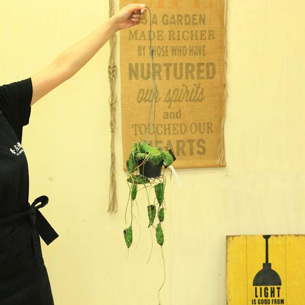 観葉植物 多肉植物:ホヤ インブリカータ*吊り