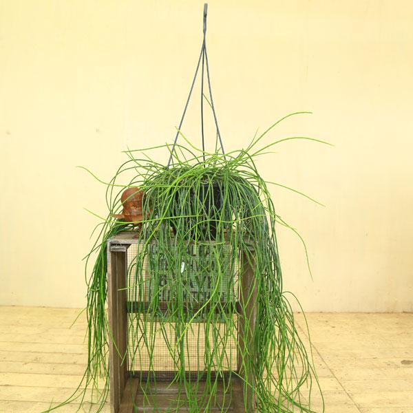 観葉植物 多肉植物:リプサリス・スティッキリー*吊り鉢