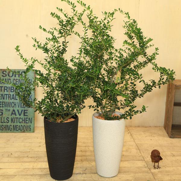 観葉植物:スパイラルドラゴン 雲竜つげ*コルチナ鉢植え