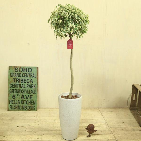 観葉植物:ベンジャミン(ベンジャミナ) スターライト* ビューティークイーン 玉造り コルチナホワイト 大型ヤマト便