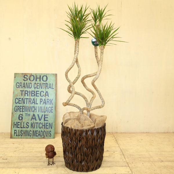 観葉植物:ドラセナ コンシンネ 龍*天然素材カゴ付き