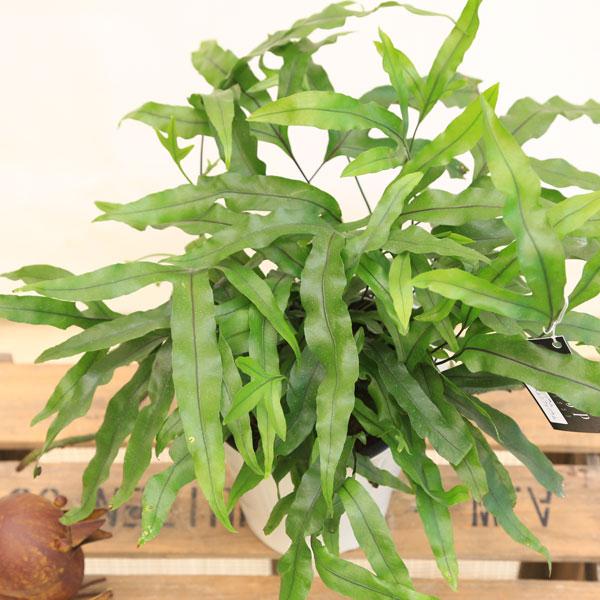 シダ 観葉 植物