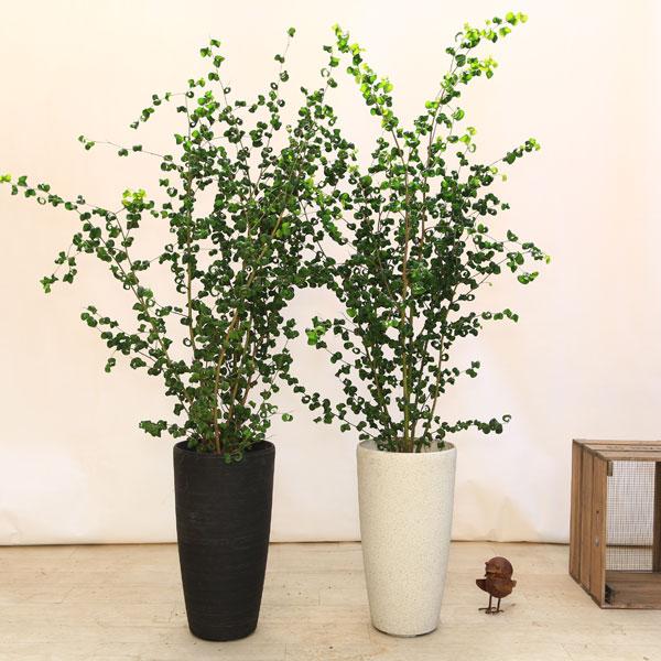 葉がカールした面白い姿をしています☆ 気質アップ 観葉植物:バロック フィカスベンジャミン ベンジャミナ 2020新作 コルチナ