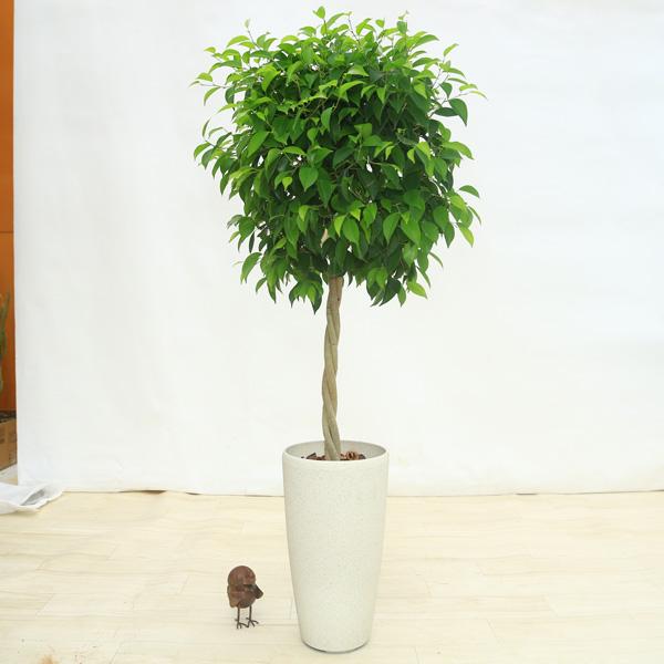 観葉植物:フィカス・ベンジャミン リッチ*スパーキングホワイト くるみ 大型便配送