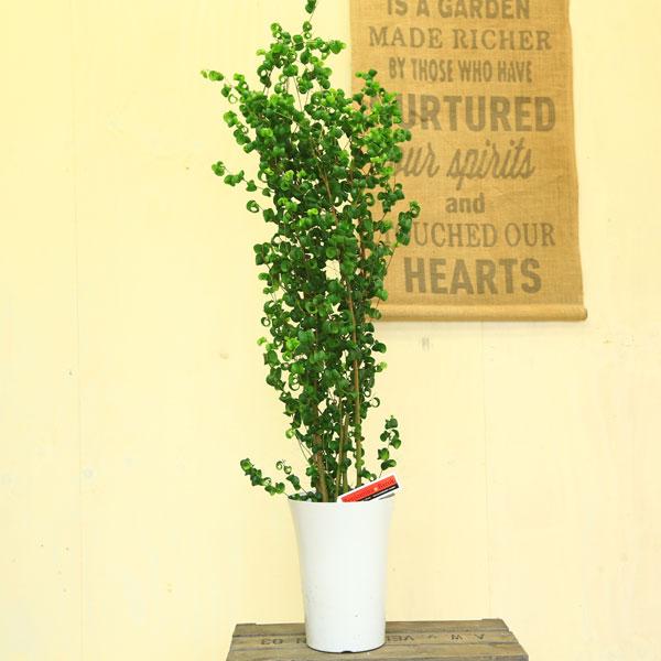 観葉植物:フィカス ベンジャミン バロック*7号ベンジャミナ