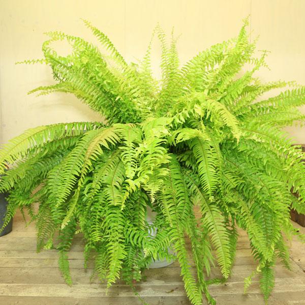 希少品種 観葉植物:斑入りネフロレピス エクセルタータ グラスファイバー(受け皿付き)*ハッピーマーブル