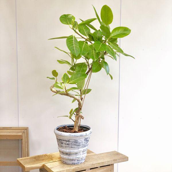 観葉植物:フィカス アルテシーマ(アルティシーマ)*ファイバーPOTT 大型ヤマト便配送