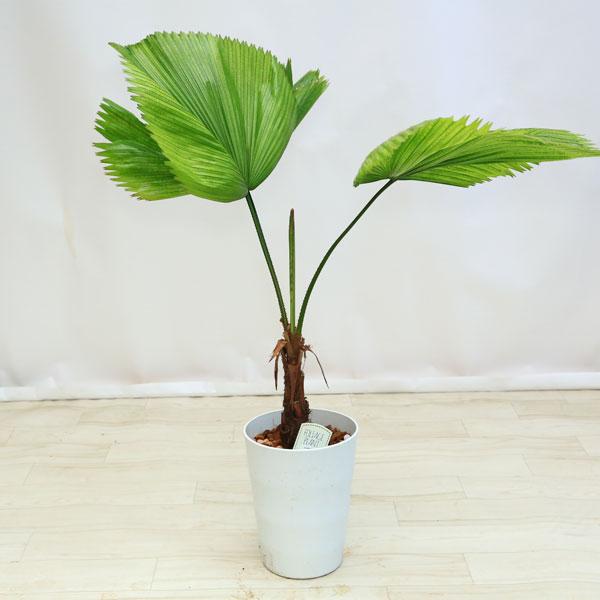 観葉植物:ウチワヤシ(団扇椰子)*白ポット 大型ヤマト便
