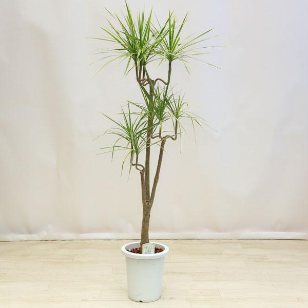観葉植物:ドラセナ コンシネ ホワイボリー*白ポット 佐川便発送
