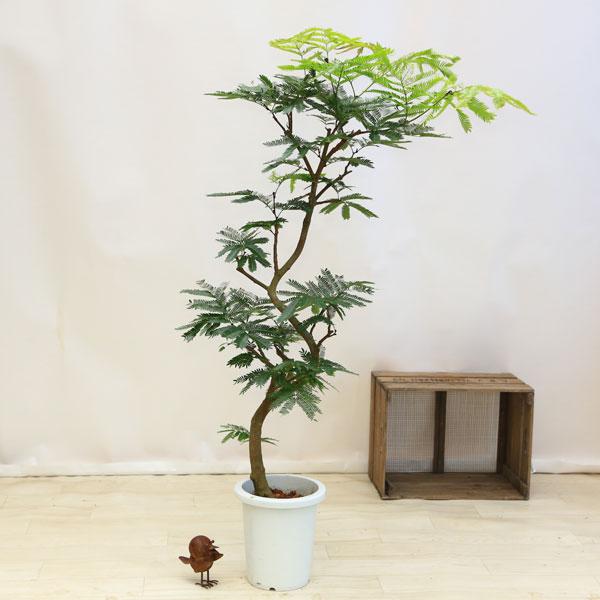 観葉植物:ネムの木(エバーフレッシュ)*プラポット 佐川便配送