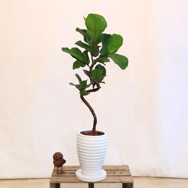 """観葉植物:カシワバゴムの木 """"バンビーノ""""*BB陶器鉢 受皿付 バークチップ"""