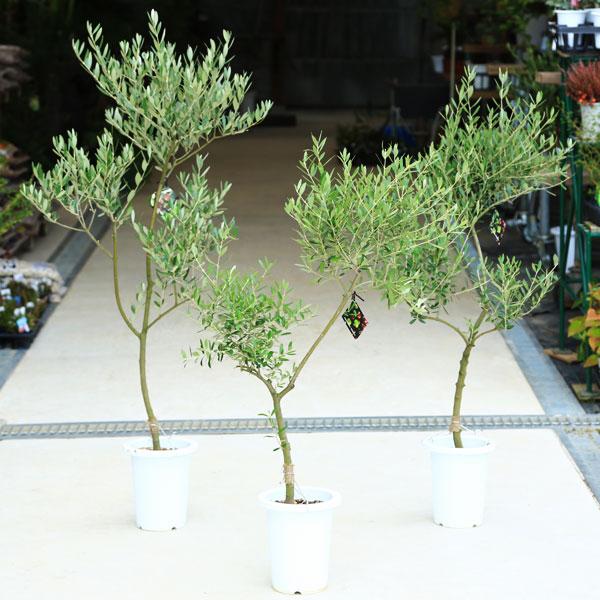 観葉:オリーブの木 (7号)*【品種選べます】【SOUJU(創樹)】【大型ヤマト便配送】