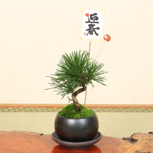 可愛いミニのクロマツ! ミニ盆栽:迎春三河黒松(瀬戸焼)*【送料無料】受け皿&ピック付き bonsai