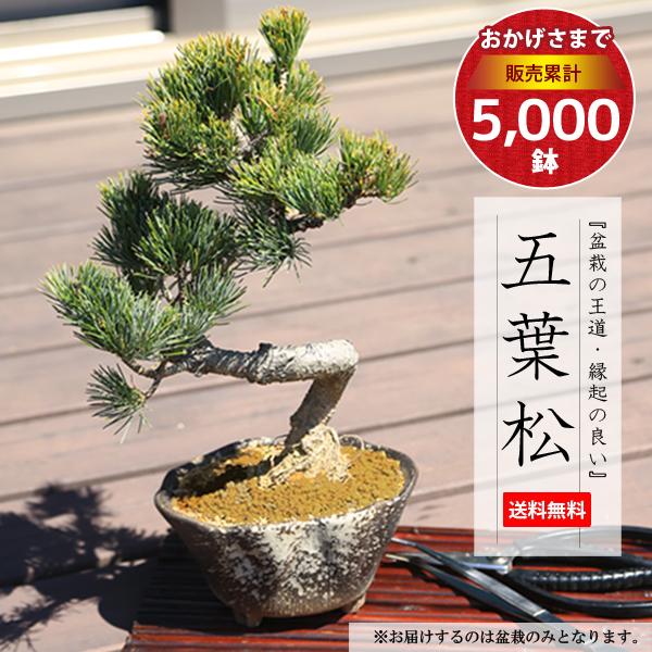 常緑なので、一年を通じて贈り物にオススメ!職人が丹精込めて植え込んでます!!【盆栽 ぼんさい】 【敬老の日 ギフト】【あす楽 ギフト】【即日出荷可!】【送料無料】小品盆栽:五葉松(瀬戸焼変形鉢)*bonsai