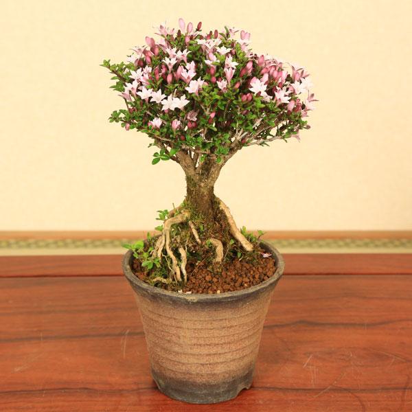春と秋に小ぶりで薄紫色の可愛い花が咲きます!【フラワーギフト 誕生日 お花 プレゼント お祝い 送料無料】 【敬老の日 ギフト】【あす楽 ギフト】【即日出荷可!】小品盆栽:香丁木(萬古焼鉢)*【送料無料】bonsai