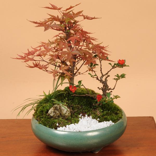 新葉が赤い品種のもみじ寄せ【紅葉 フラワーギフト 誕生日 お花 プレゼント お祝い 送料無料 SMTB】  【敬老の日 ギフト】【あす楽 ギフト】盆栽:出猩々もみじ寄せ*【送料無料】bonsai