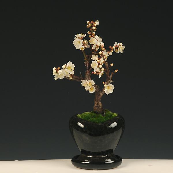 モダン盆栽:梅(ハート型黒鉢・受け皿付)*【2021年開花終了】【送料無料】【あす楽 ギフト】bonsai