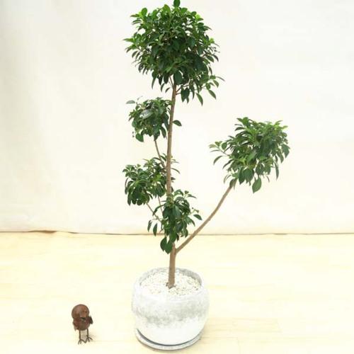観葉植物:フィカス ナナ*セメント丸鉢 受皿付 現品 大型ヤマト便
