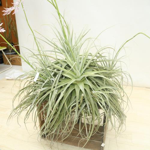 観葉植物:チランジア ストラミネア*XXXL 大型ヤマト便配送 エアープランツ