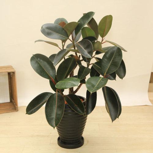 観葉植物:フィカス バーガンディー 陶器鉢*受皿付