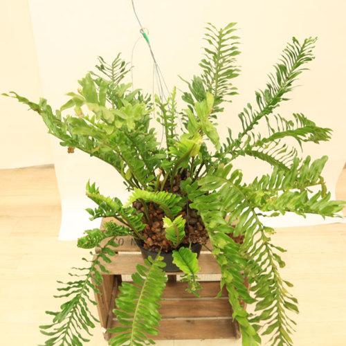 観葉植物:シダ植物 レカノプテリスロマリオイデス*