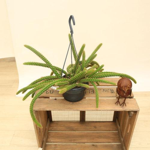 観葉植物:ヒモサボテン マルソニー*アポロカクタス  吊り鉢
