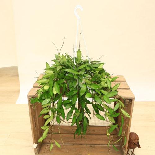 観葉植物:ホヤ デビットクミンギー*吊り鉢