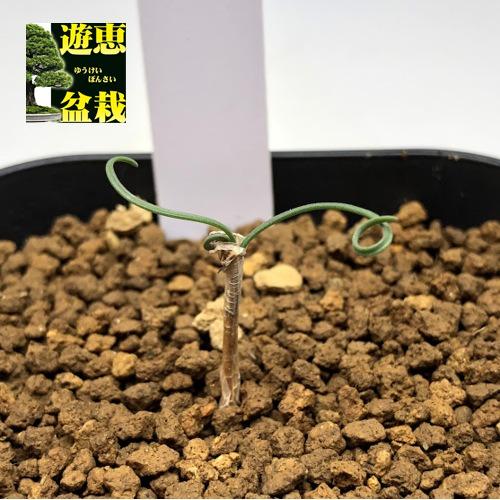 球根植物:ゲチリス sp *葉幅1~3cm