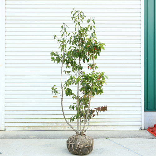 送料無料 庭木:ソヨゴ/そよご(株立ち)(雌株)* 樹高:約160cm 全高:約170cm佐川大型商品発送