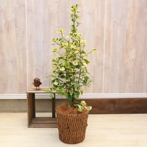 おしゃれ 観葉植物:フィカス トライアンギュラス ヴァリエガータ黄斑 バスケット付き*ヤシ飾り 大型ヤマト便