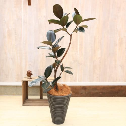 おしゃれ 観葉植物:フィカス・バーガンディ(クロゴムの木) 樹脂製プランター*ヤシ飾り 佐川急便