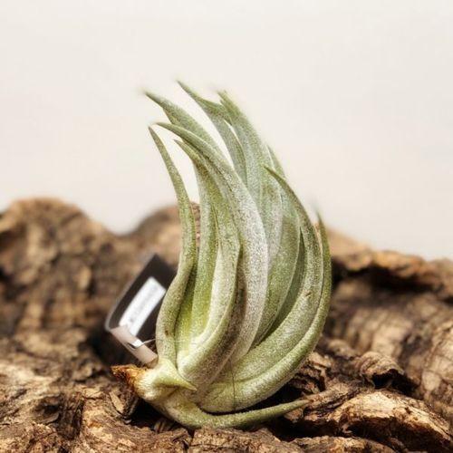 観葉植物:チランジア ミトラエンシス*エアープランツ 銀葉系