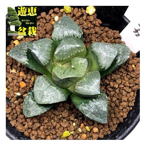 多肉植物:ハオルチア シルバームチカ*幅5.5cm