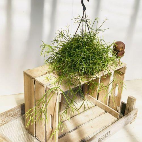 観葉植物:リプサリス・プリスマティカ*吊り鉢